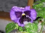 pansies in snow small
