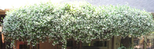 confederate jasmine in bloom
