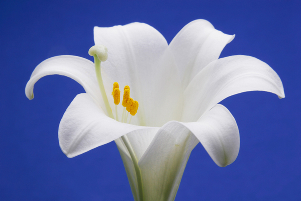 Stock Photography - Easter Lily Close Up