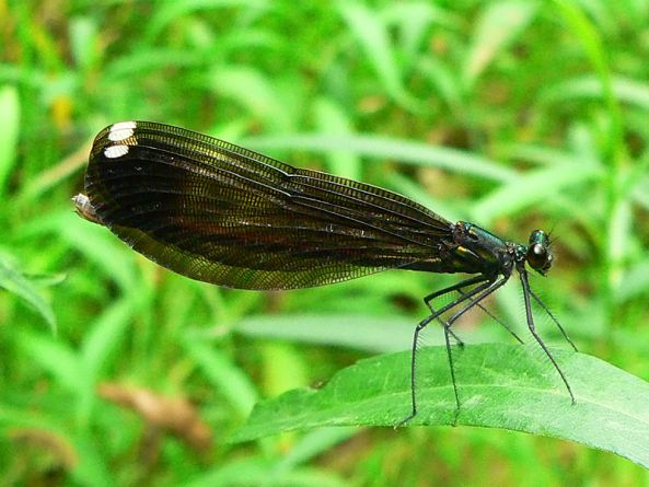 JewelwingDamselfly
