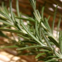 Rosemary and Migraines
