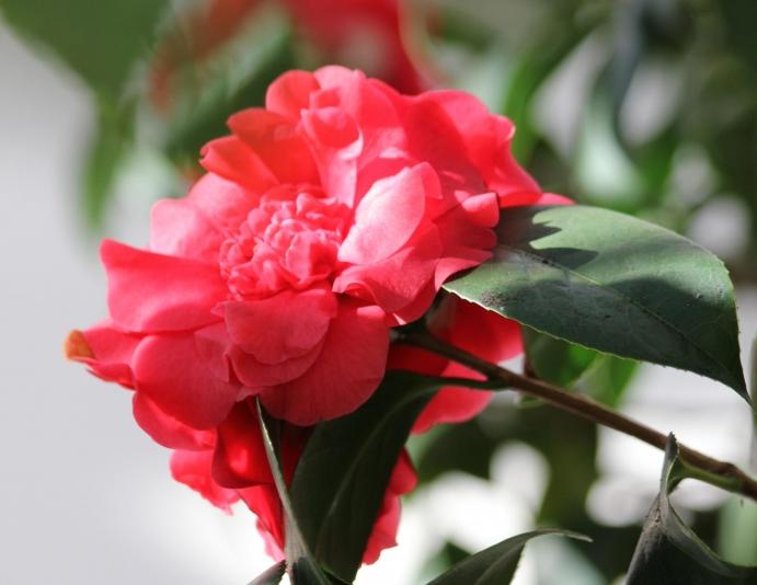 camelliamorquefile